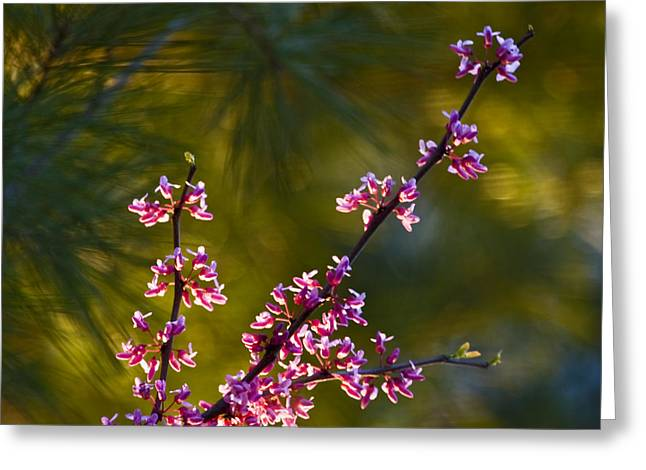 Backlit Prints Greeting Cards - Redbud Greeting Card by Rob Travis