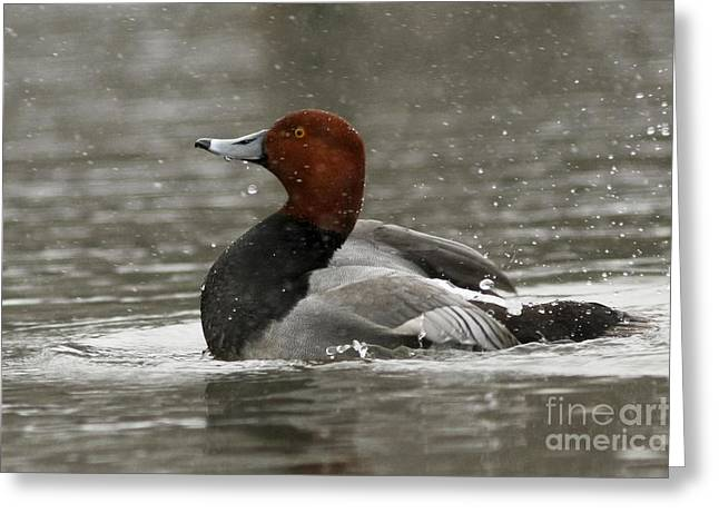 Shelley Myke Greeting Cards - Redhead Duck Flapping its Wings Greeting Card by Inspired Nature Photography By Shelley Myke