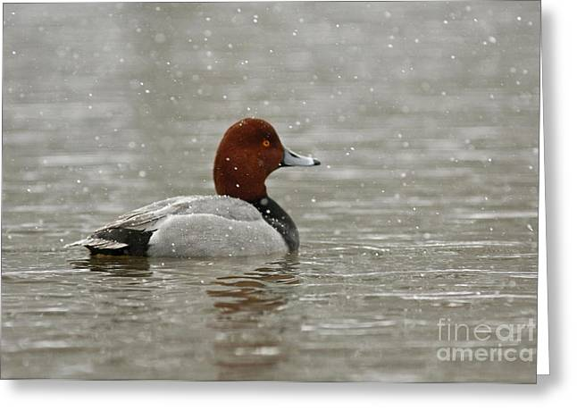 Shelley Myke Greeting Cards - Redhead Duck in winter Snow Storm Greeting Card by Inspired Nature Photography By Shelley Myke