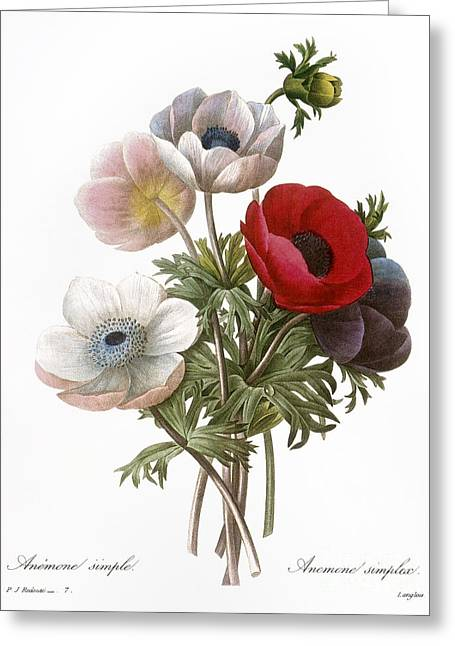 1833 Greeting Cards - Redoute: Anemone, 1833 Greeting Card by Granger