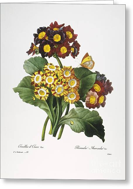 Choix Des Plus Belles Fleurs Greeting Cards - Redoute: Auricula, 1833 Greeting Card by Granger