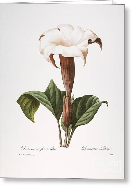 1833 Greeting Cards - Redoute: Datura, 1833 Greeting Card by Granger