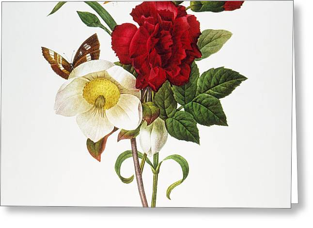 REDOUTE: HELLEBORE, 1833 Greeting Card by Granger