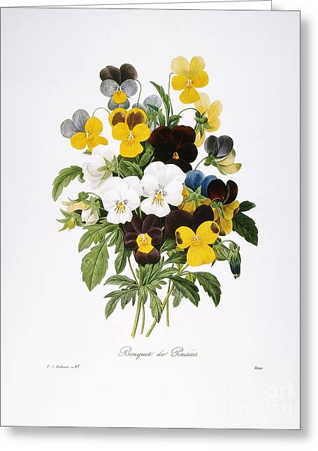 1833 Greeting Cards - Redoute: Pansy, 1833 Greeting Card by Granger