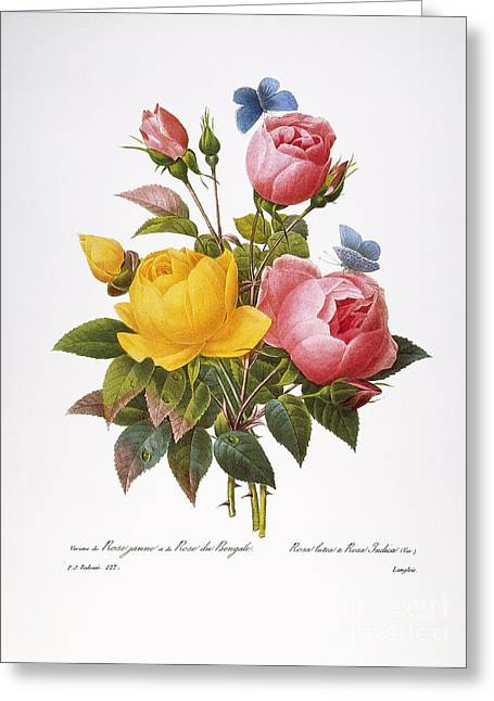 1833 Greeting Cards - Redoute: Roses, 1833 Greeting Card by Granger