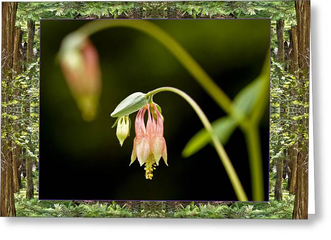 Redwood Columbine Greeting Card by Bell And Todd