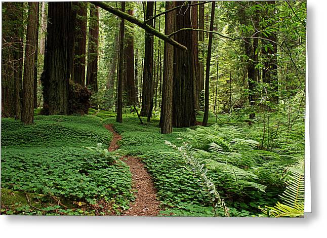 Redwood Tree Greeting Cards - Redwood Forest Path Greeting Card by Melany Sarafis
