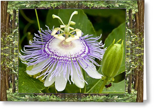 Passionflower Greeting Cards - Redwood Passion Greeting Card by Bell And Todd