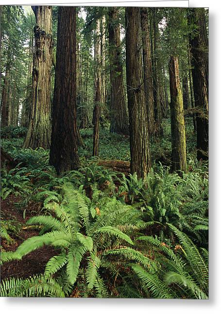 Park Scene Greeting Cards - Redwood Trees Provide Shade For Ferns Greeting Card by Phil Schermeister