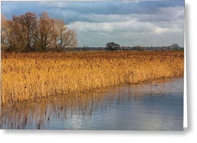 Floodplain Greeting Cards - Reed in a Dutch Floodplain Greeting Card by Semmick Photo