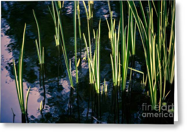 Van Dusen Botanical Garden Greeting Cards - Reeds at Sunset Greeting Card by Venetta Archer