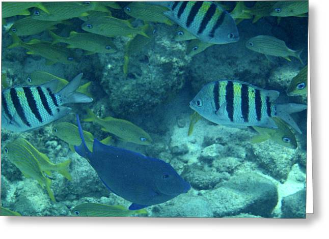 Grunts Greeting Cards - Reef Fish Greeting Card by Kimberly Perry