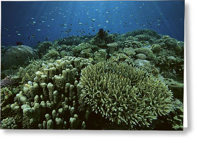 Apo Greeting Cards - Reef Scene, Apo Reef Greeting Card by Tim Laman