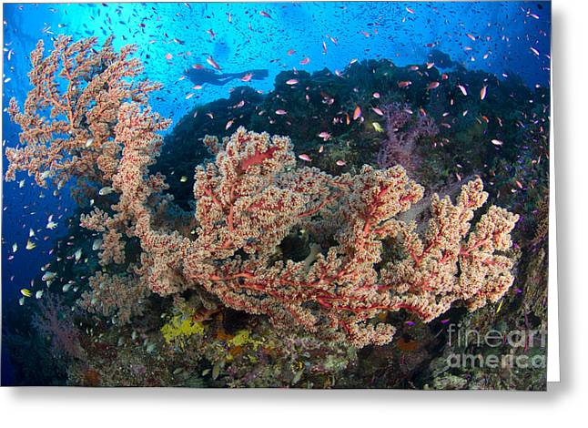New Britain Greeting Cards - Reef Scene With Sea Fan, Papua New Greeting Card by Steve Jones