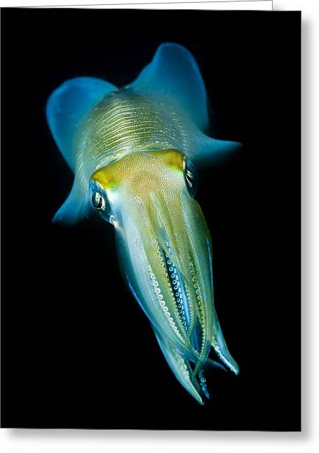 Lembeh Strait Greeting Cards - Reef Squid Greeting Card by Matthew Oldfield