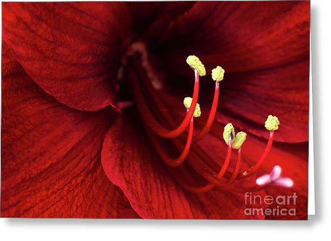 Individuality Greeting Cards - Ref Lily Greeting Card by Carlos Caetano