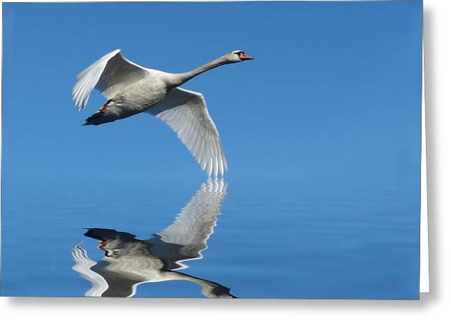 Flying Mute Swan Greeting Cards - Reflected Swan Greeting Card by Lynn Bolt
