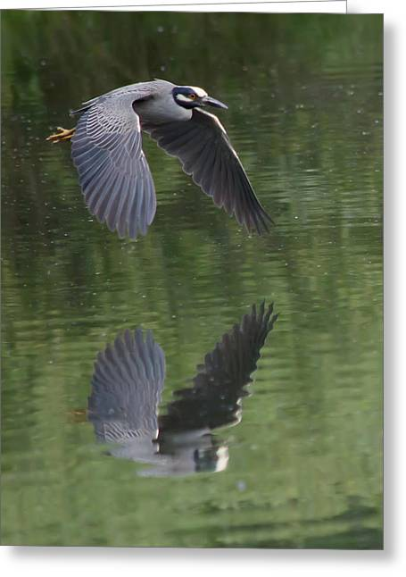 Yellow-crowned Night Heron Greeting Cards - Reflecting on Flight Greeting Card by Shane Bechler