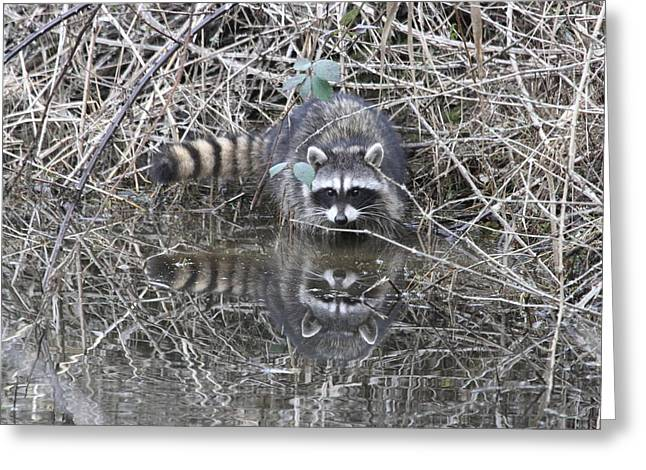 Wildlife Refuge. Greeting Cards - Reflecting Raccoon Greeting Card by Angie Vogel