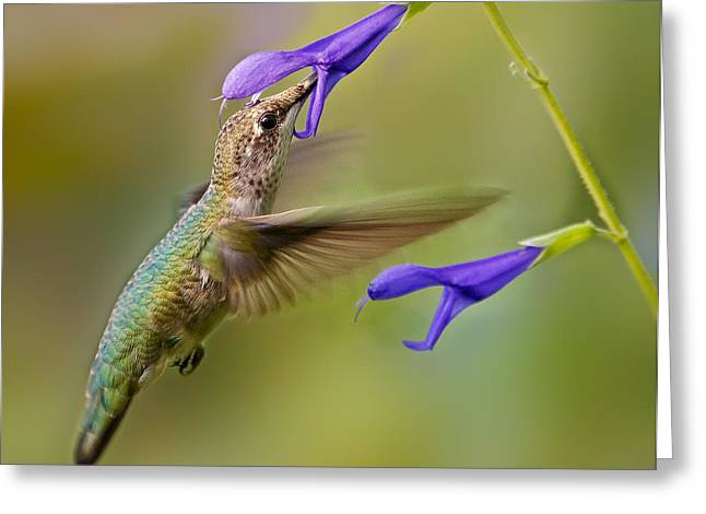 Sunbird Greeting Cards - Refueling Greeting Card by Susan Candelario