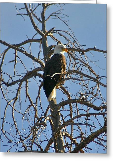 Bob Berwyn Greeting Cards - Regal eagle Greeting Card by Bob Berwyn