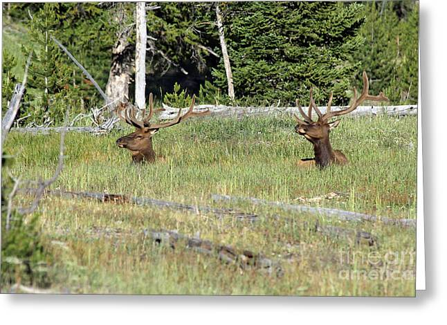 Relaxed Elk Greeting Card by Shawn Naranjo