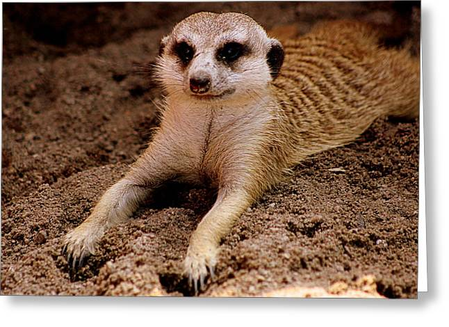 """animal Photographs"" Greeting Cards - Relaxing Meerkat Greeting Card by Tam Graff"