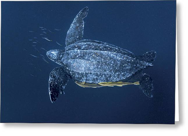 Rare Fish Greeting Cards - Remoras Attach To A Leatherback Turtle Greeting Card by Brian J. Skerry