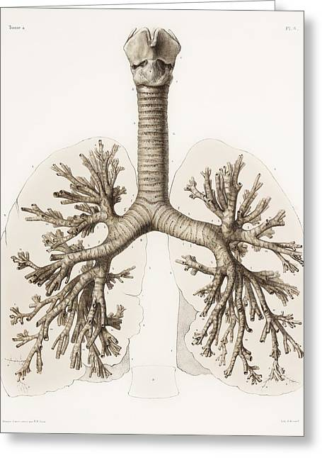 Vol Greeting Cards - Respiratory Anatomy, 19th Century Artwork Greeting Card by