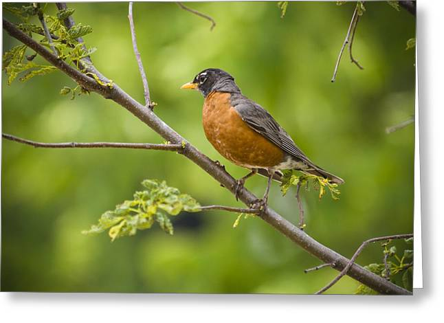 Thrush Greeting Cards - Resting American Robin Greeting Card by Chad Davis