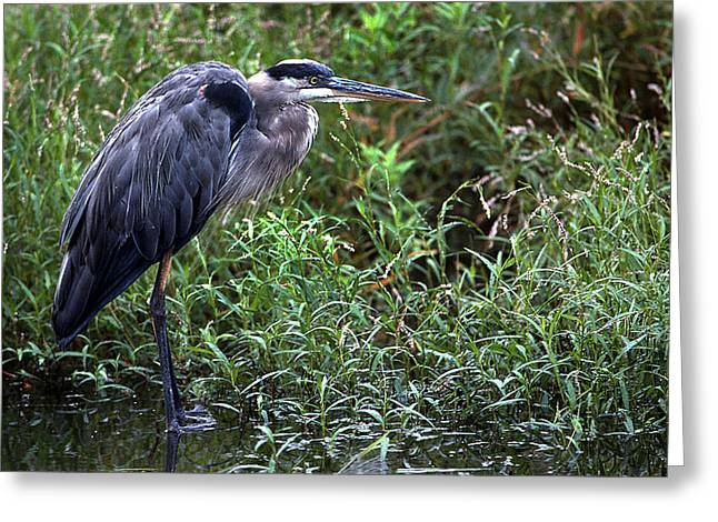 Photos Of Birds Greeting Cards - Resting Blue Heron Greeting Card by Skip Willits