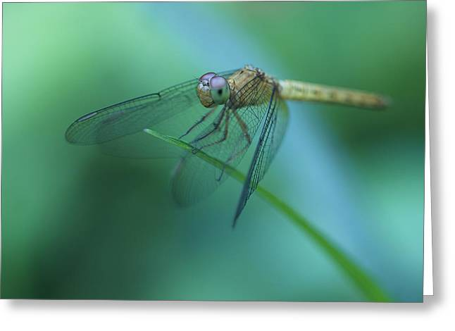 Invertebrates Greeting Cards - Resting Dragonfly Greeting Card by Zoe Ferrie