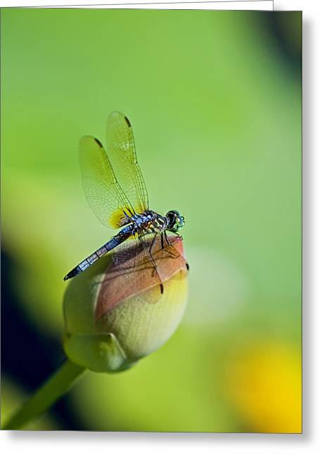 Resting On A Lily Greeting Card by Lisa  Spencer