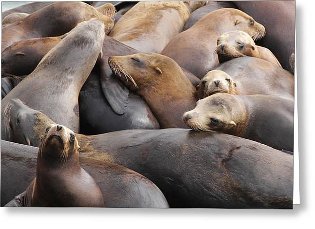 California Sea Lions Greeting Cards - Resting Sea Lions Greeting Card by Sakari Kouti