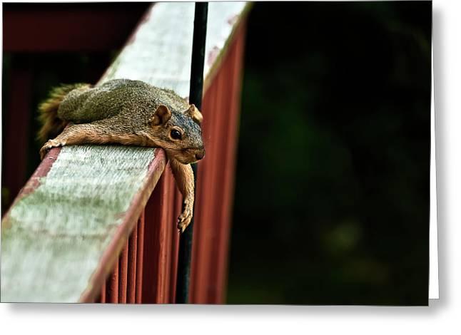 Sciurus Carolinensis Greeting Cards - Resting Squirrel Greeting Card by  Onyonet  Photo Studios