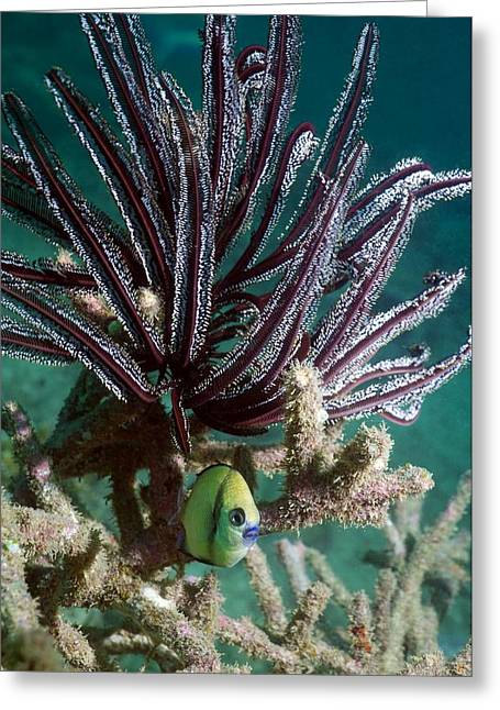 Reef Fish Greeting Cards - Reticulated Dascyllus Fish Greeting Card by Georgette Douwma