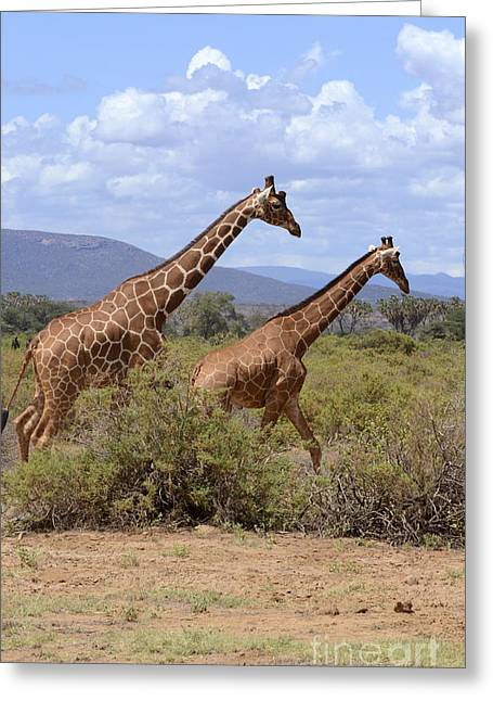 Amirp Greeting Cards - Reticulated Giraffe  Greeting Card by Amir Paz