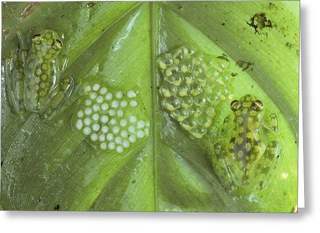 Reticulated Glass Frogs and Eggs Greeting Card by Michael and Patricia Fogden