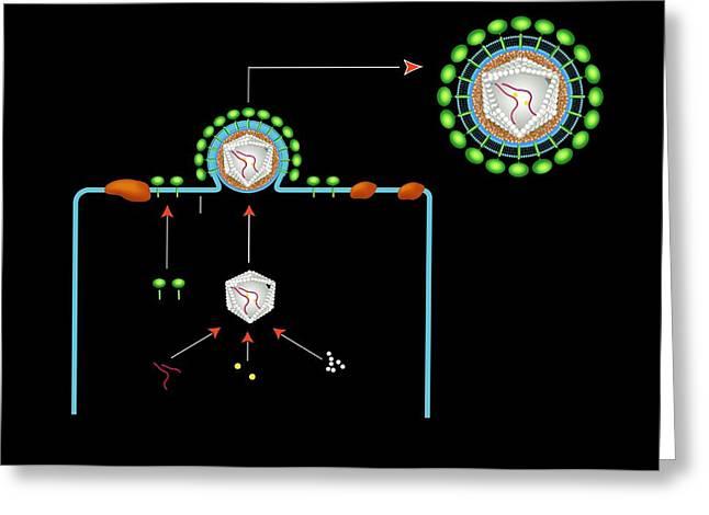 Retrovirus Greeting Cards - Retrovirus Budding From A Cell, Artwork Greeting Card by Francis Leroy, Biocosmos