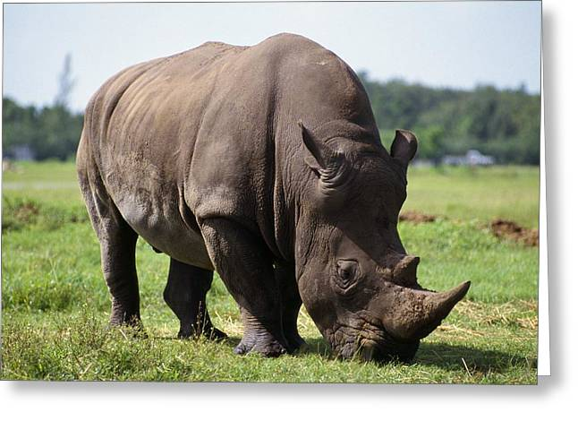 Rhinocerotidae Greeting Cards - Rhinoceros Greeting Card by Natural Selection Ralph Curtin
