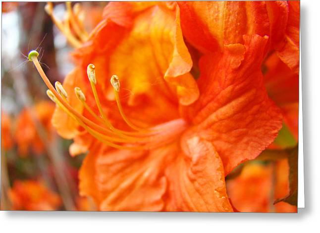 �rhodies Flowers� Greeting Cards - RHODIES Art Prints Orange Rhododendron Flowers Baslee Troutman Greeting Card by Baslee Troutman Fine Art Prints Collections
