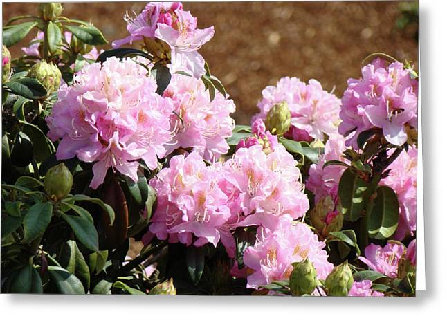 Pink Rhodies Greeting Cards - Rhododendron Flower Garden Art Prints Canvas Pink Rhodies Baslee Troutman Greeting Card by Baslee Troutman Fine Art Prints Collections