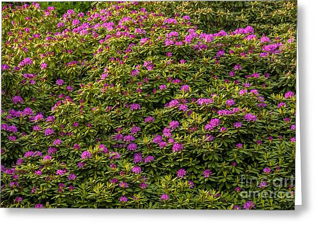Rhododendrons Greeting Cards - Rhododendron Greeting Card by Lutz Baar