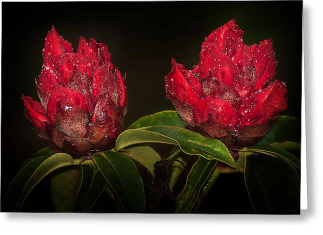 Fresh Green Greeting Cards - Rhododendron Greeting Card by Svetlana Sewell