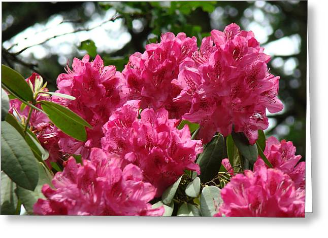 Pink Rhodies Greeting Cards - Rhododendrons Garden art prints Pink Rhodies Floral Greeting Card by Baslee Troutman