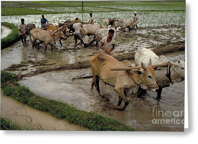 Rice Paddy Greeting Cards - Rice Cultivation Greeting Card by Bernard Pierre Wolff