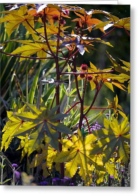 Dappled Light Greeting Cards - Ricinus Communis gibsonii Greeting Card by Dr Keith Wheeler