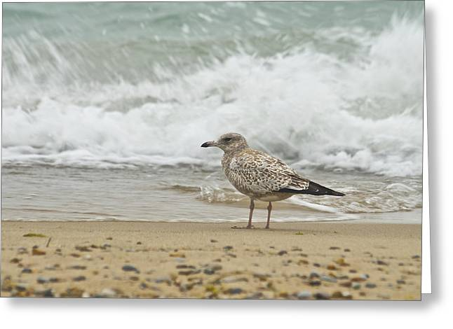 Ring-billed Gull Greeting Cards - Ring Billed Gull 5373 Greeting Card by Michael Peychich