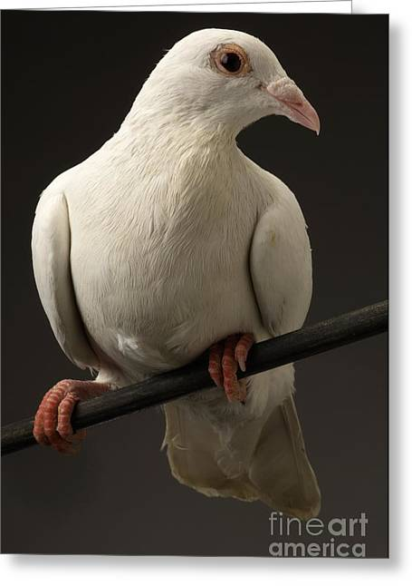 Captive Animals Greeting Cards - Ring-necked Dove Greeting Card by Raul Gonzalez Perez
