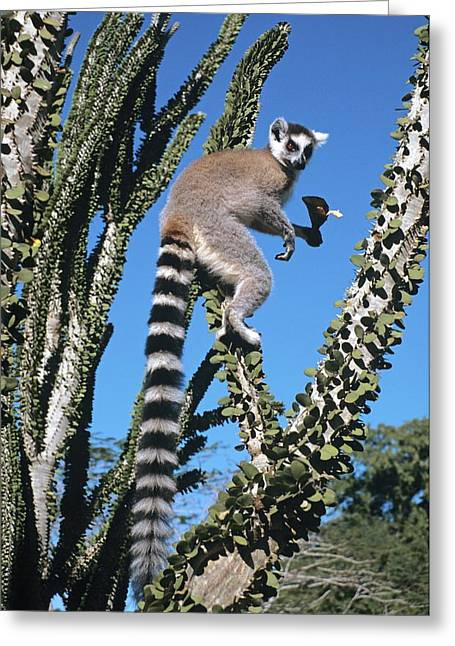 Thorny Desert Plant Greeting Cards - Ring-tailed Lemur Greeting Card by Chris Hellier